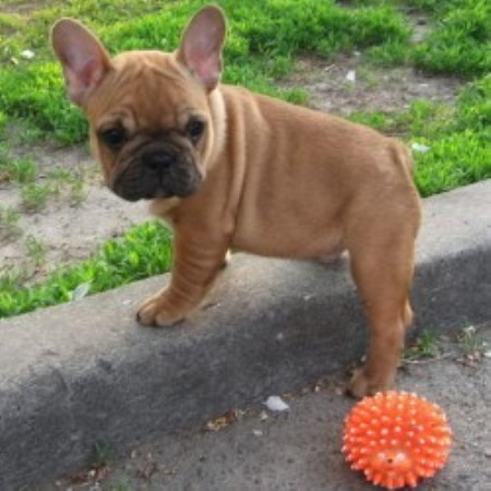 french bulldog breeders florida poetic french bulldogs french bulldog breeder in pompano 9832