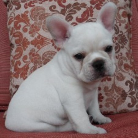 Poetic French Bulldogs French Bulldog Breeder In Pompano Beach Florida