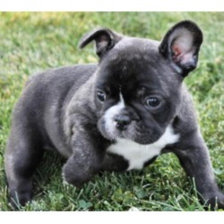 french bulldog breeders florida poetic french bulldogs french bulldog breeder in pompano 4501