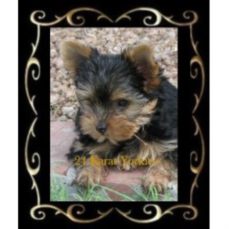 Yorkshire Terrier breeder Mesa 20466