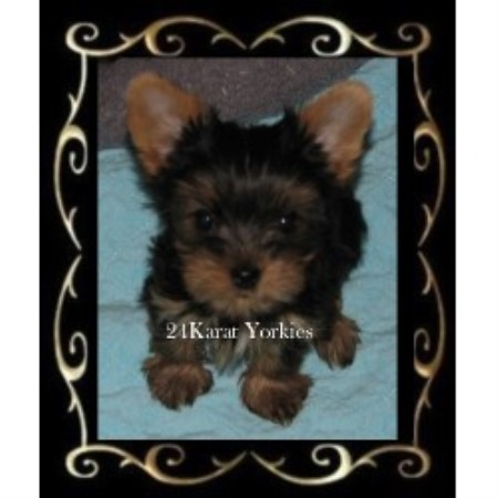 Yorkshire Terrier breeder Mesa 20467