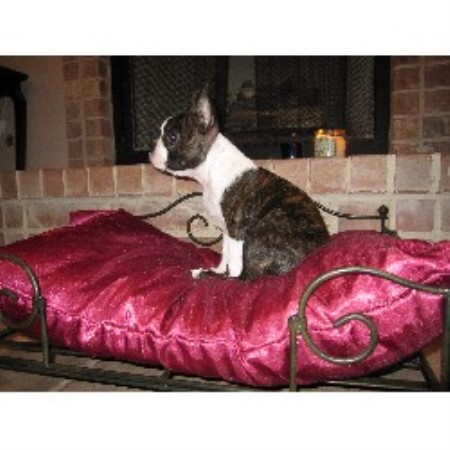 Loveys Boston Terrier Breeder In Lake Jackson Texas