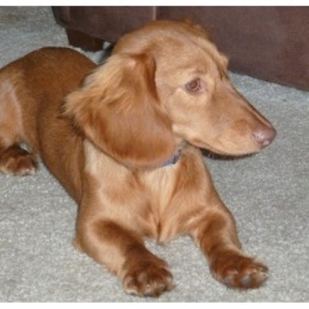 Kentucky Dachshund Rescue Dogs Available