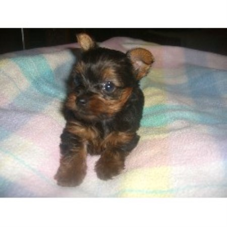 Yorkshire Terrier breeder Chandler 20531