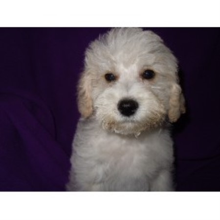Barmor's Puppies, Schnoodle Breeder in Greenville, South ...