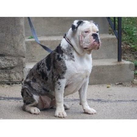 Steel City Alapahas, Alapaha Blue Blood Bulldog Breeder in Natrona