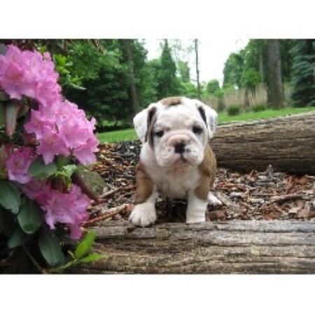 Jodi English Bulldog Breeder In Newmanstown Pennsylvania