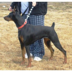 Doberman Pinscher breeder Lind 20572
