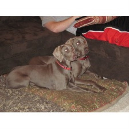 Weimaraner breeder Great Meadows 20574
