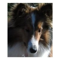 Southern Belle Shelties