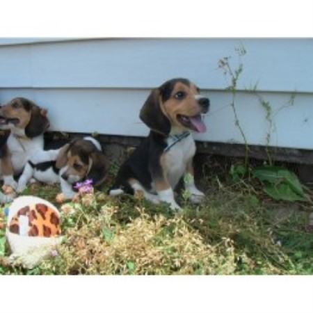 Legal Beagles Kennel Beagle Breeder In Stevensville Montana