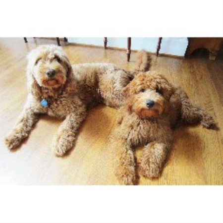 free goldendoodle puppies nc