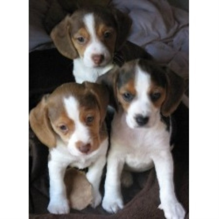 Beagle breeder Walworth 20617