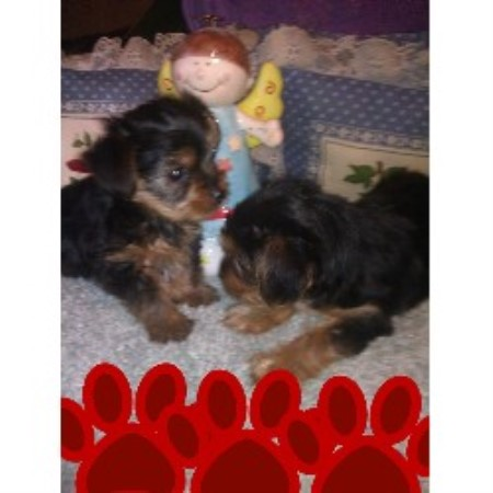 Yorkshire Terrier breeder Marysville 20618