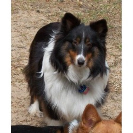 Nirvana Shelties Shetland Sheepdog Breeder In Chase Michigan