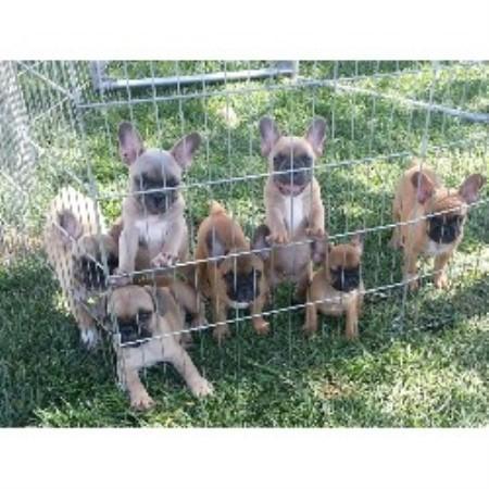 French Bulldog breeder...