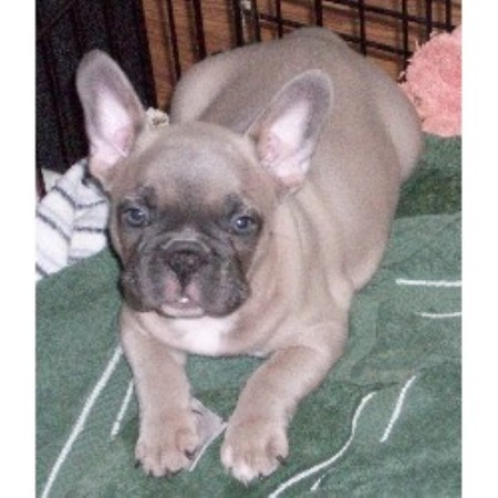 X S O S French Bulldogs French Bulldog Breeder In Mira Loma