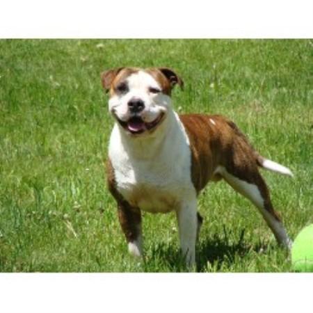 Alapaha Big Sky Kennels Alapaha Blue Blood Bulldog Breeder In
