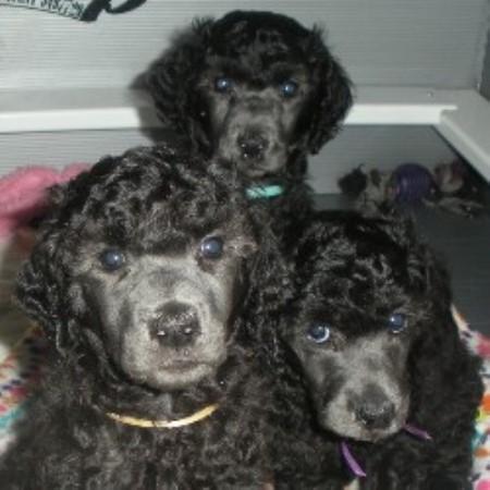 Genteel Standard Poodles Poodle Standard Breeder In
