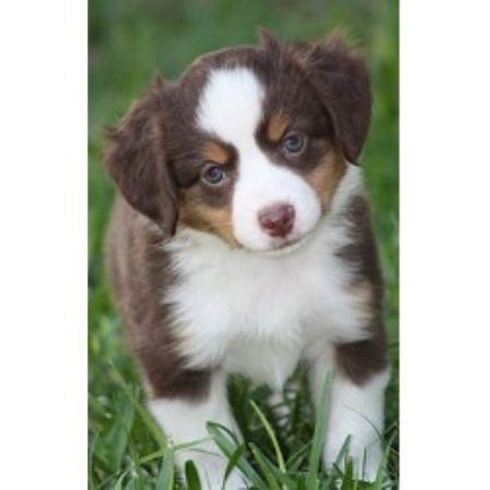 Miown Mini Aussies Miniature Australian Shepherd Breeder
