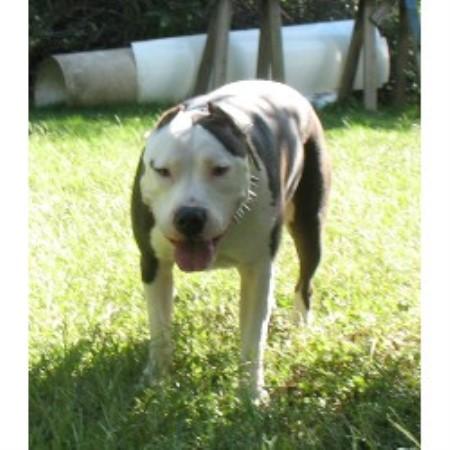 Bully Dog Rescue Ohio