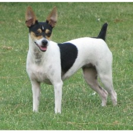 Rat Terrier breeder Chandler 20812