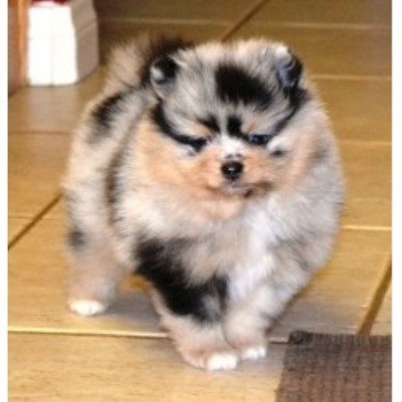 blue merle pomeranian puppies for sale deanna pomeranian breeder in hesperia california 1685