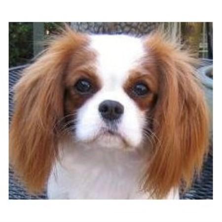 Cavalier King Charles Spaniel Puppies Virginia