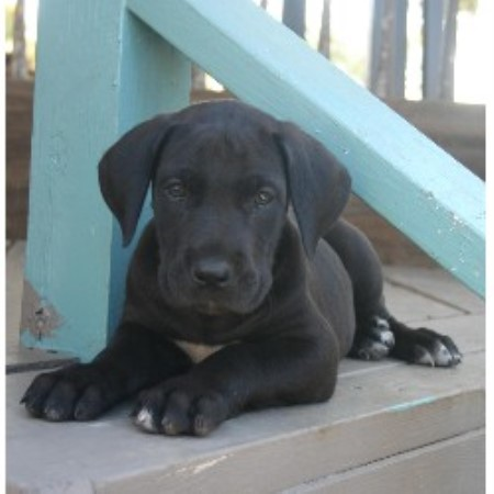 great dane breeders in michigan freedoglistings