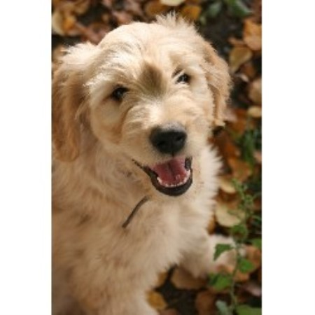 Goldendoodle breeders in kentucky freedoglistings