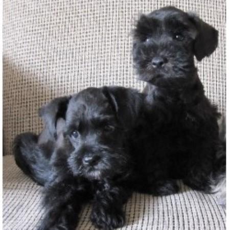 Puppies On The Bridge, Miniature Schnauzer Breeder in ...