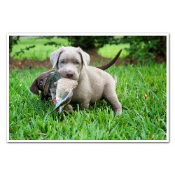 Labrador Retriever breeder Conroe 20948