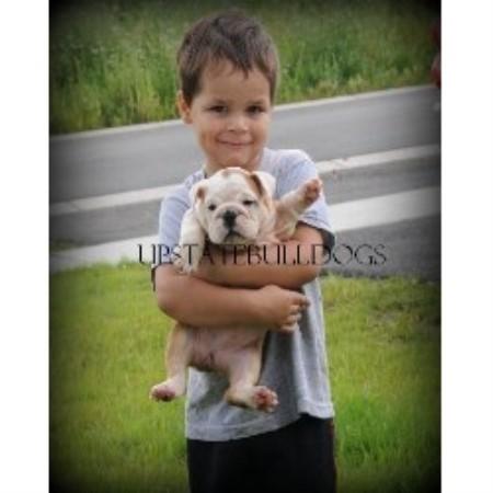 Upstatebulldogs English Bulldog Breeder In Dallas Texas