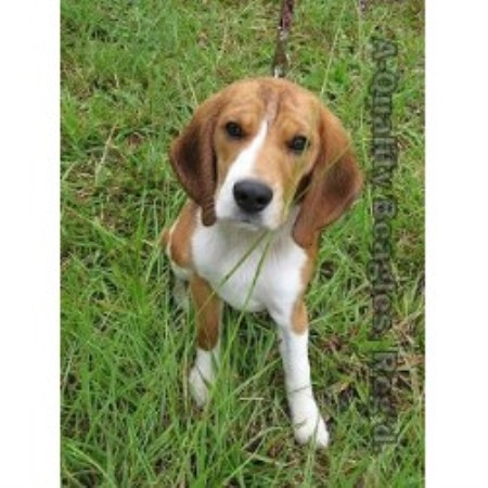 Beagle breeder Bonneau 21015