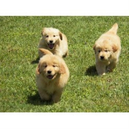Willogold Kennels, Golden Retriever Breeder in ...