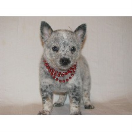 Australian Cattle Dog breeder in Canton
