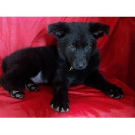 Vomblacksmith-Land Com, German Shepherd Dog Breeder in