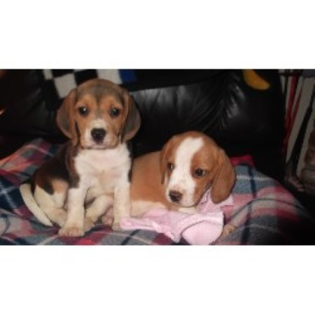 Beagle Breeders In California