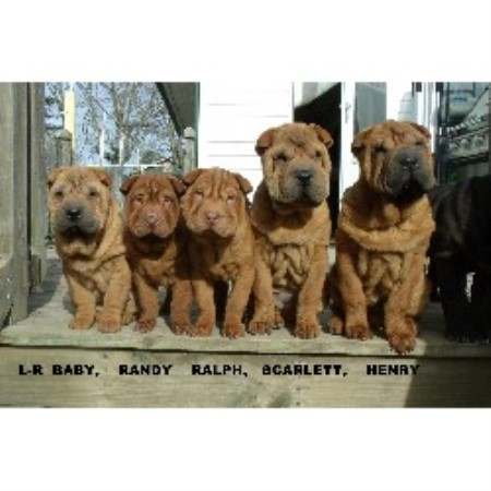 Chinese Shar Pei breeder Somerset 21120