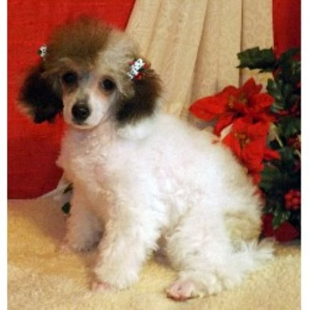 Dreamtime Parti Poodles Poodle Toy Breeder In Jemez Springs New Mexico
