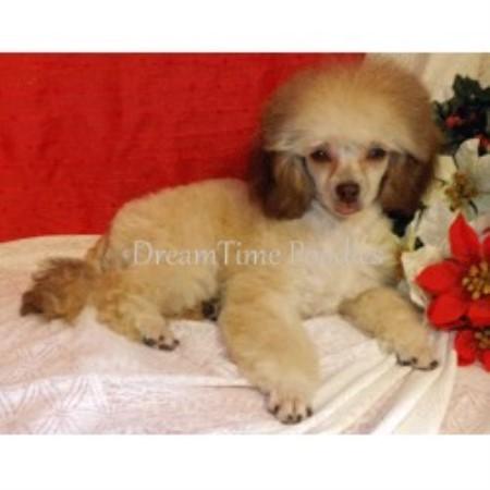 Dreamtime Parti Poodles Poodle Toy Breeder In Jemez