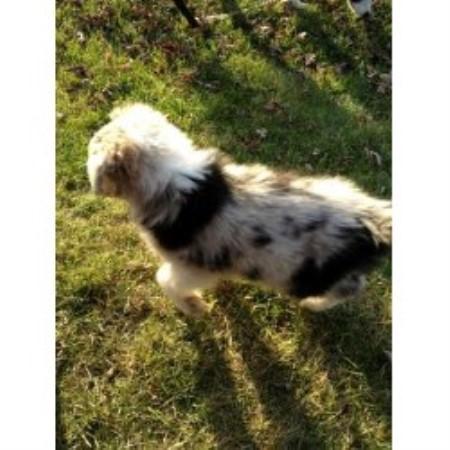 Lovejoyfarms Australian Shepherd Dog Breeder In Coleman Michigan