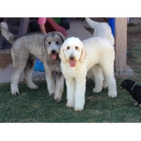 Az Family Goldendoodles, Goldendoodle Breeder in Peoria, Arizona