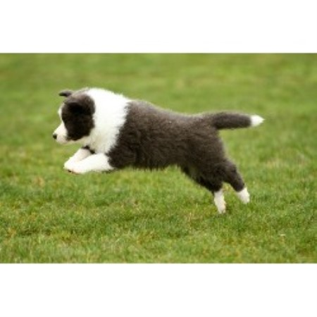 Border Collie breeder Lancaster 21176