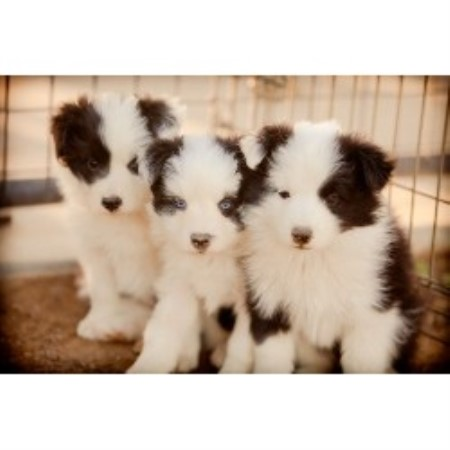 Powerhouse Border Collie Breeder In Lancaster California