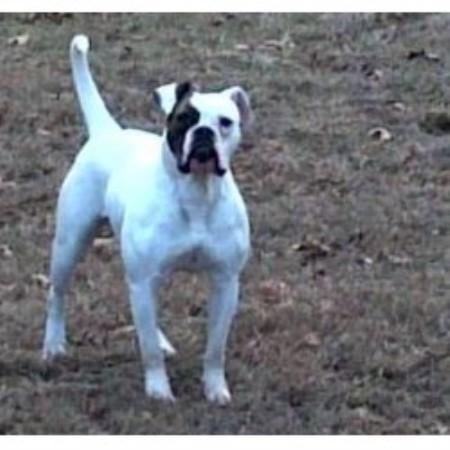 Brickyard American Bulldogs American Bulldog Breeder In North Judson Indiana