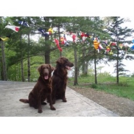 Tohcham Flat Coated Retriever Breeder In Canso Nova Scotia