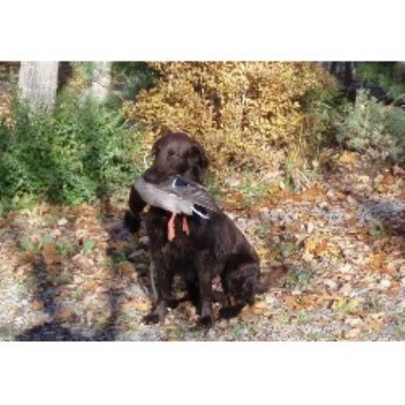 picture from Tohcham a Flat Coated Retriever breeder