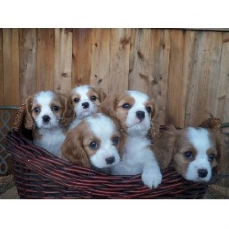 Cavalier King Charles Spaniel breeder Jamestown 21249