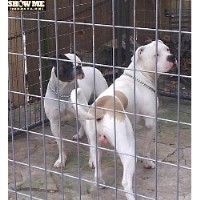 American Bulldog Breeders In Missouri